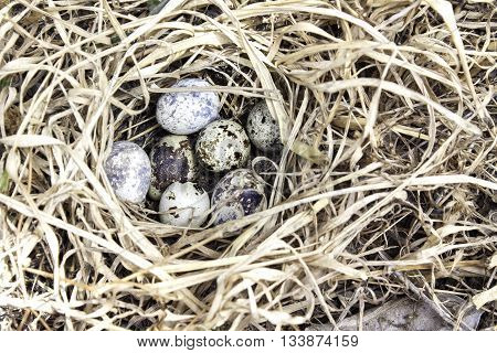 Quail bird eggs nature in a nest