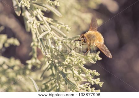 A bee fly resting on light green foliage.