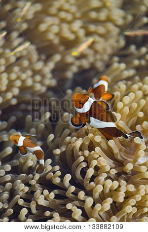 Ocellaris clownfish in their host anemone in sea