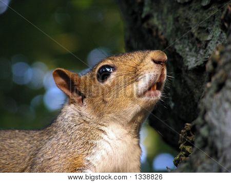 Singing Squirrel