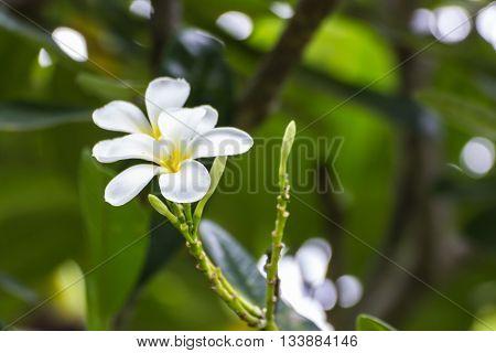 White Frangipani flowers  , beauty in nature