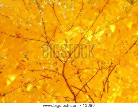 a closeup of yellow leaves on a tree in the fall. poster