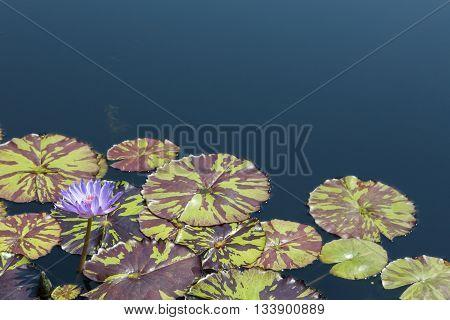 purple Water lily bloom in summer water garden