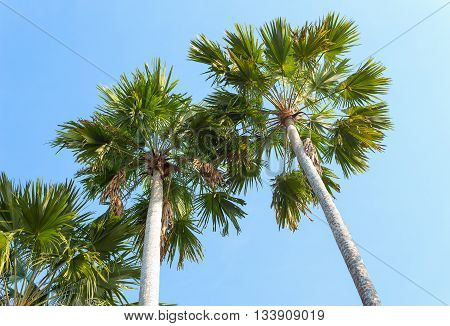 Palm trees on a background of blue sky. Red Sealing wax palm, Lipstick palm, Raja palm, Maharajah palm, Cyrtostachys renda ornamental plant in gardens.