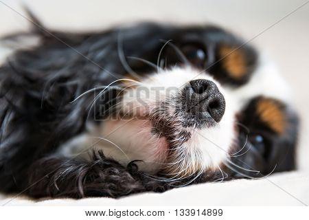 cute nose of cavalier spaniel selective focus
