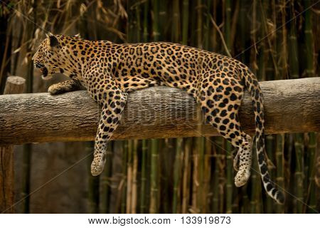 Leopard, Panthera pardus kotiya, Big spotted cat lying on the tree in the nature habitat, national park Chiang Mai