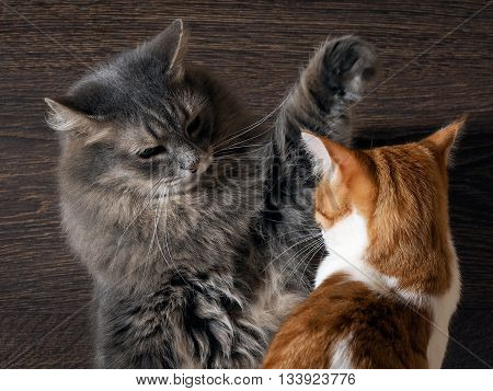 Fighting cats. Concept - the tense situation, the aggression, the quarrel