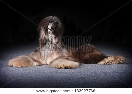 beautiful Afghan dog lies and looks questioningly begging for food