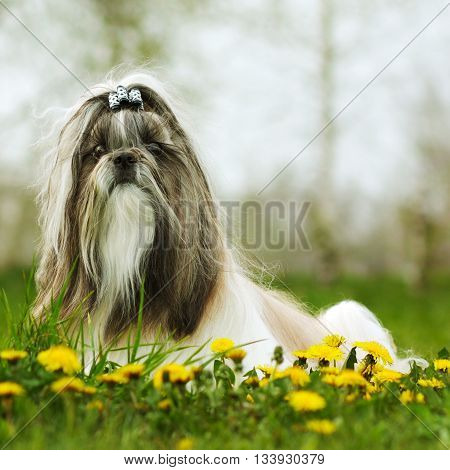 dog breed Shi tzu sitting on the grass in the spring with dandelions