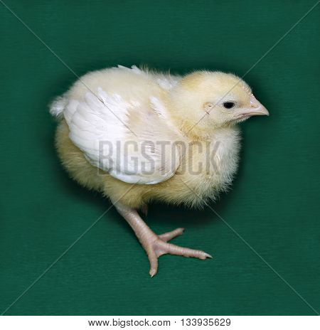 Young chick broiler on a green background