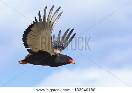 Mature bateleur take off from a tree with blue sky in background