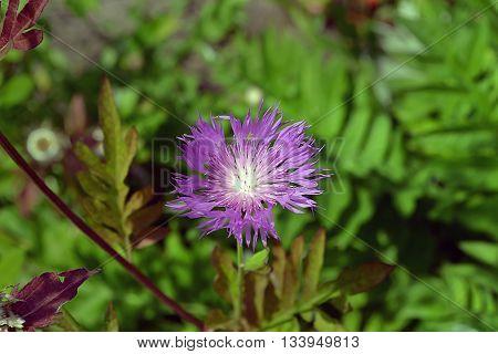 Perennial Flower Cornflower Purple-violet On The Background Of Green Leaves.