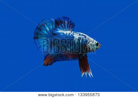 Siamese fighting fish in aquarium isolate blue background