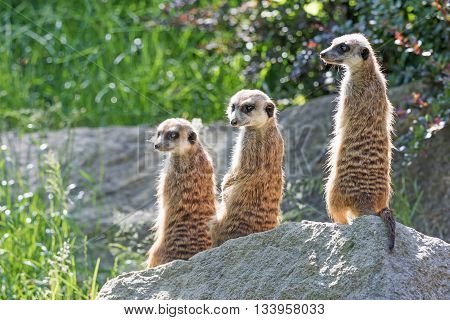 Trinity of Meerkats sitting on a rock in the upright position. The two are looking at the camera and one on the left