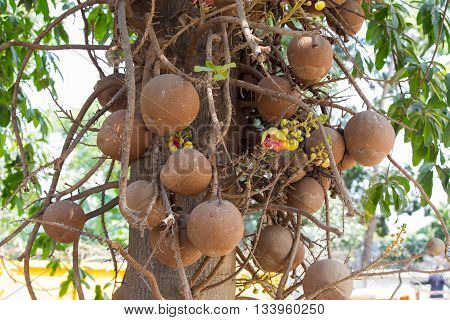 Cannonball tree with group of fruit and flower