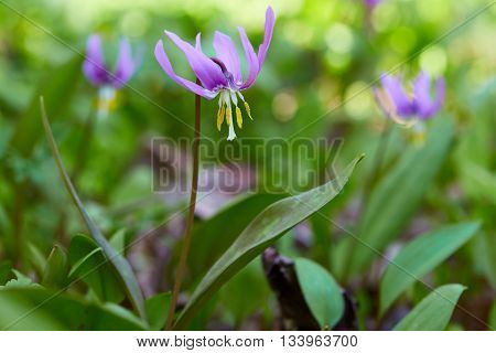 Many purple flowers in spring green forest