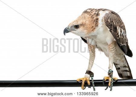 Portrait of beauty hawk ,Changeable Hawk Eagle (Nisaetus limnaeetus)