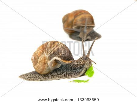 snail eating a green leaf on white background