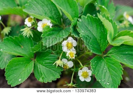 Green Strawberry leaves with flowers background in the garden