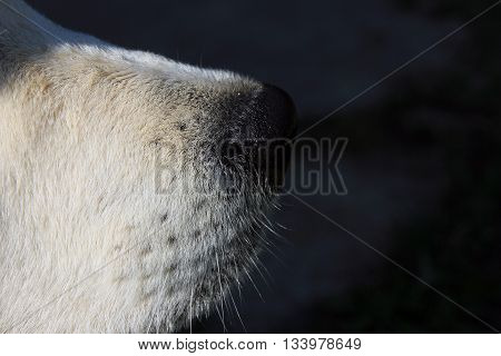 black nose and mustache of white dog golden retriever in profile closeup foreground