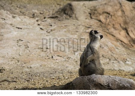 little wild suricate on alert for threats