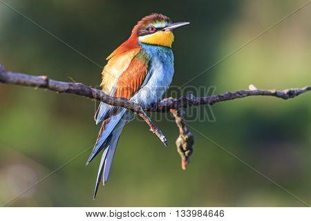 bird - rainbow sits on a branch, bright colors, summer, morning sun