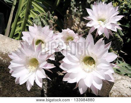 Pink Hylocereus undatus Cactus Flowers in Or Yehuda Israel