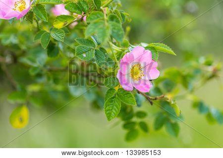 Wild Pink Rose Blooming At Summer