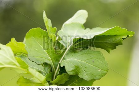 Fresh Ruccola Leaves on the green  background