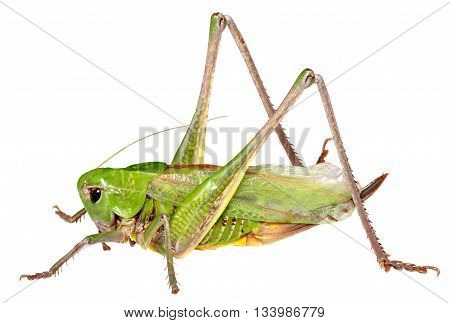 Grasshopper in front of isolated a white background