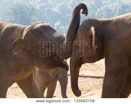Couple of young asian elephants - Elephas maximus