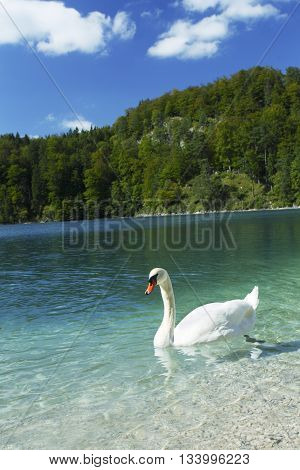 Beautiful white swan in blue Alps lake