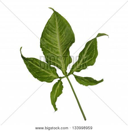 free form shape green leaf isolated on white background