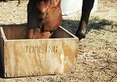 """Chestnut gelding eats from his improvised feeding trough a rustic wooden box that has the word """"tooling"""" stenciled on it. poster"""