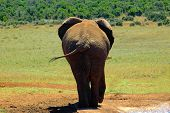 back of a big african elephant walking in a game park in south africa poster