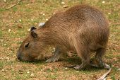 capybara is the largest rodent in the world poster