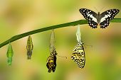 Transformation of Lime Butterfly ( papilio demoleus ) poster