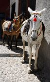 donkeys waiting in fira santorini to carry tourists up and down the 1000ft (300m) high stairs from the harbour. poster