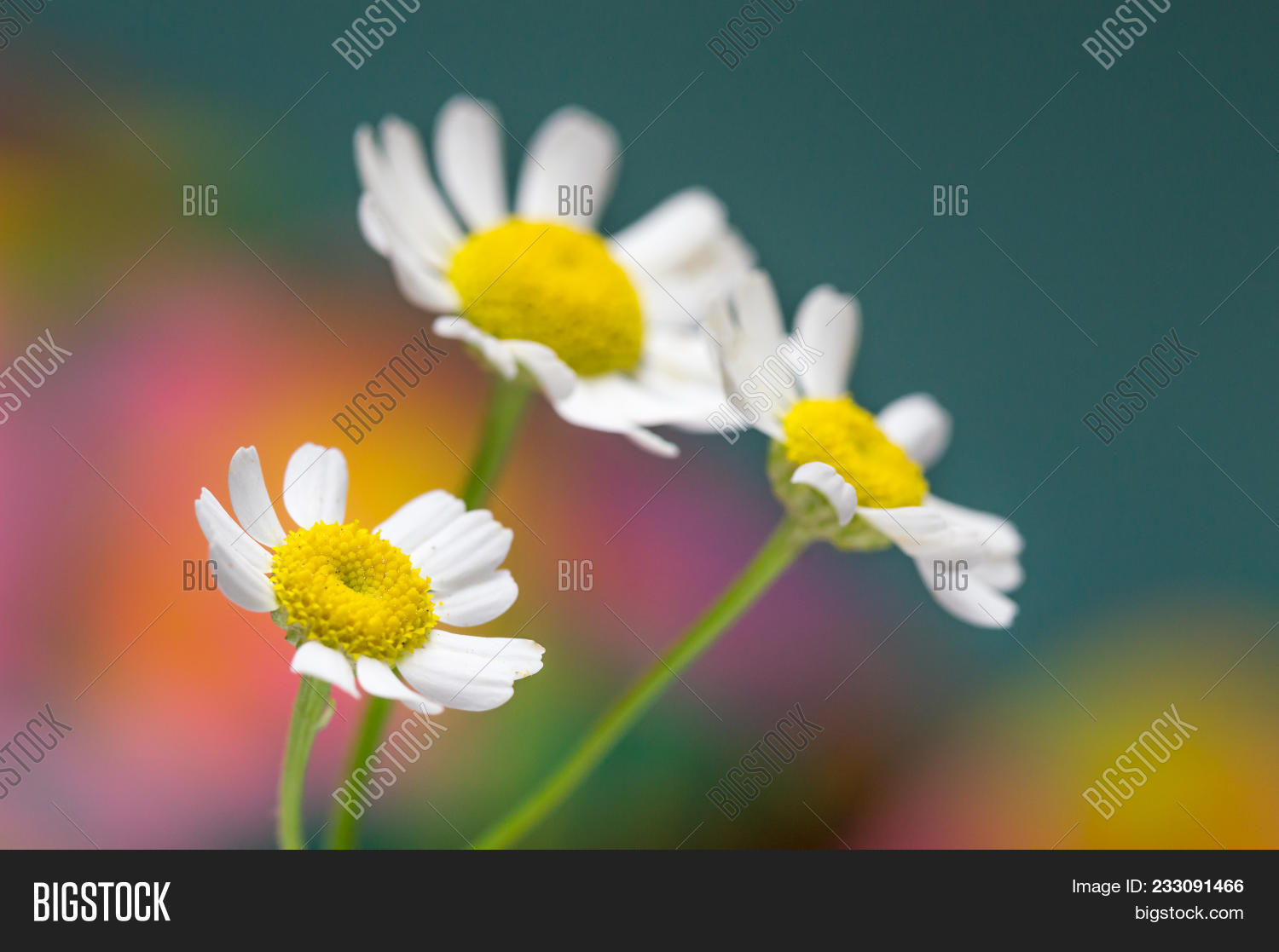 Feverfew Flowers Image Photo Free Trial Bigstock