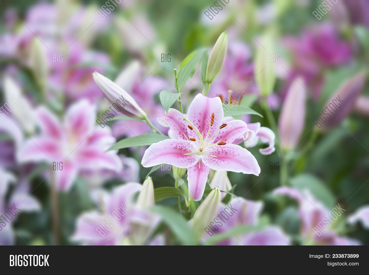 Lily Broad Leaves Image Photo Free Trial Bigstock