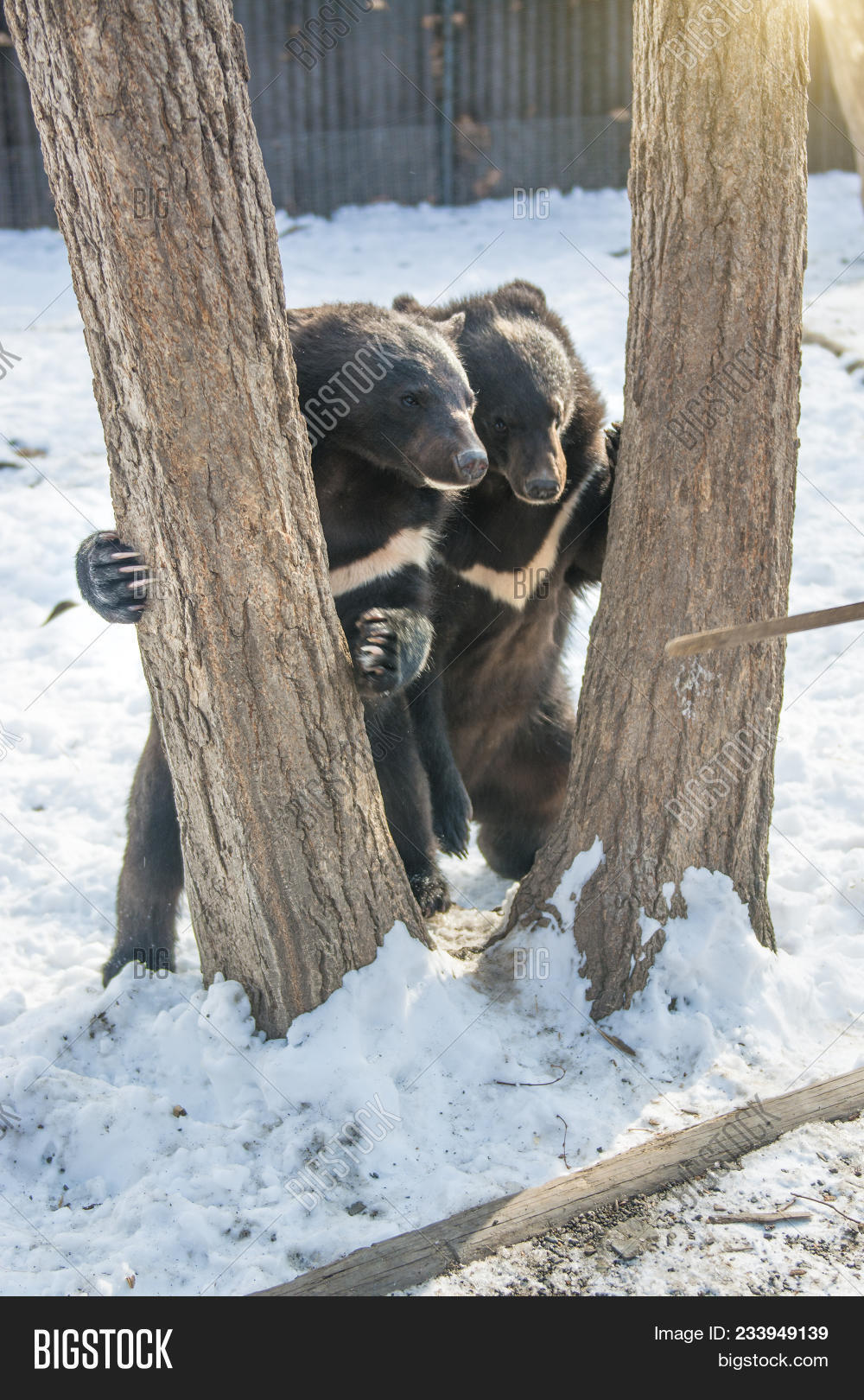 Free gay cubs