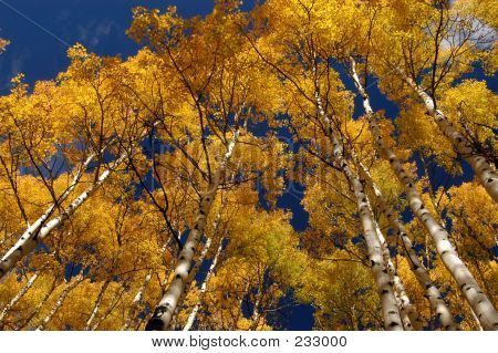 Those Golden Aspens