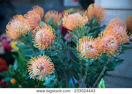 Pincushion Leucospermum Cordifolium. Leucospermum Is A Genus Of Upright. Almost All Species Are Easi