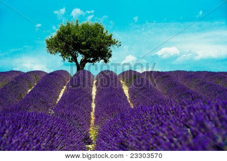 Valensole, flowers in the lavander fiels of the french provence poster
