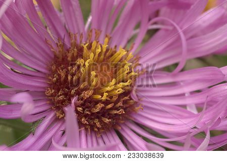Close Up Image Of New England Aster Flower.