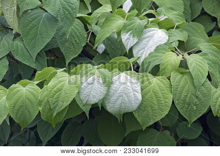 Variegated-leaf Hardy Kiwi (actinidia Kolomikta). Know Also As Variegated Kiwi Vine, Kolomikta Vine
