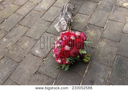 Red Bridal Bouquet From Dahlias Lies On The Wooden Background A Stray Cat Sniffing It. Wedding Flori