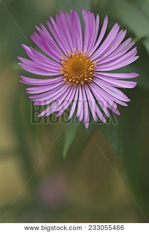New England aster (Symphyotrichum novae-angliae). Known also as  Michaelmas Daisy. Another scientific name is Aster novae-angliae.