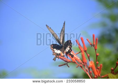 Giant Swallotail Butterfly Flittering Around In A Garden.