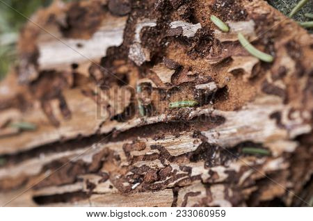 Damage Wood Surface By Termite With Space For Write Wording, Cause Of Infection Disease